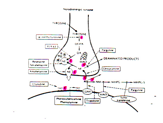 aok:targyak:farmakologia:sites_of_drugs_acting_at_the_adrenergic_synapses1.jpg